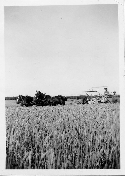 Horse-drawn swather in field. Year: 1938 Ken on the swather with Percy standing, 1938.