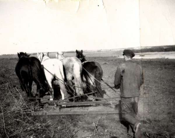 Harrowing Year: 1940 Place Name: Stockholm Orville Paulson harrowing seeded field, walking behind harrows all day.